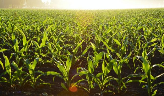 царевично поле огряно от слънцето